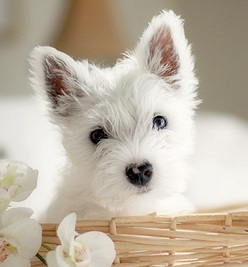 White Westie Puppies