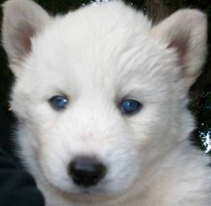white siberian husky puppies - photo #26