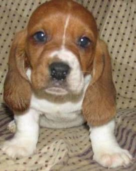 adorable basset hound puppy