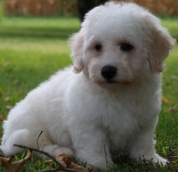 adorable bichon frise puppy