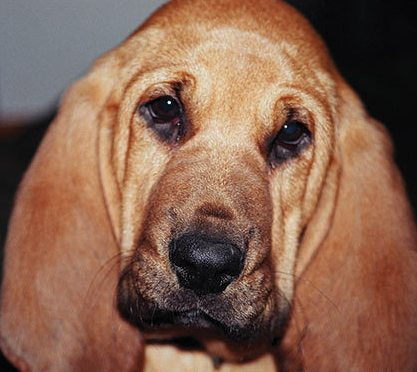 adorable bloodhound puppy