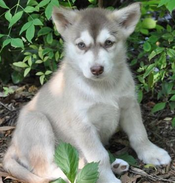 adorable malamute puppy