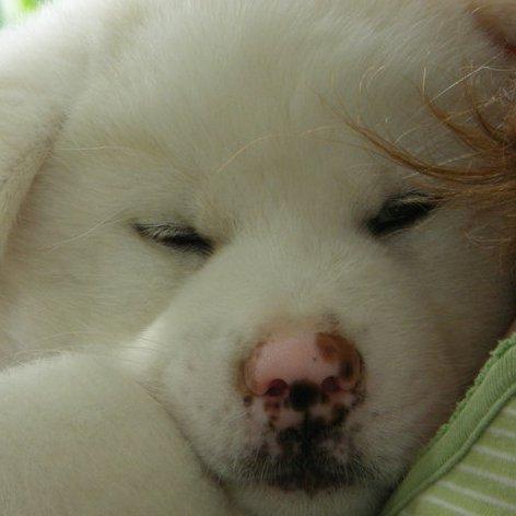 Akita Puppies on Akita Inu Puppy   Japanese Akita Information