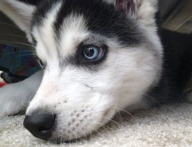 alaskan husky puppies for sale in ohio