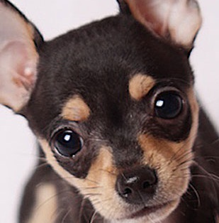 applehead chihuahua dog