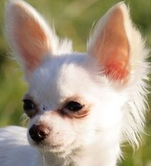 applehead chihuahua photo