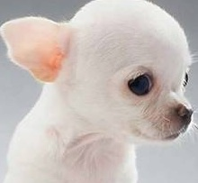 teacup applehead chihuahua