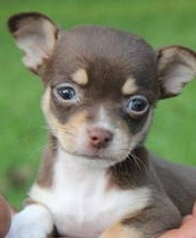 tiny applehead chihuahua