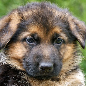 AKC Baby German Shepherd