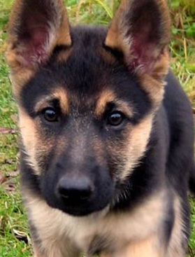 Baby German Shepherd Picture