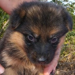 Baby German Shepherd Puppy