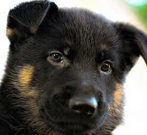 Black Baby German Shepherd