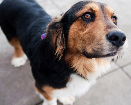 basset shepherd mix