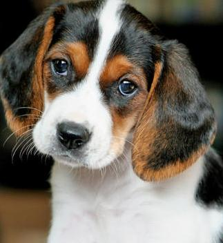 beagle basset hound mix