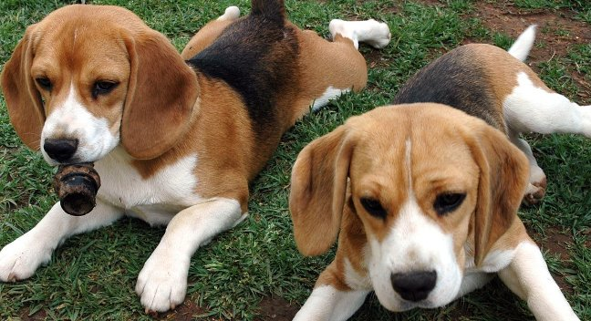 beagle basset hound puppies