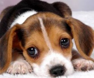 cute beagle basset hound mix