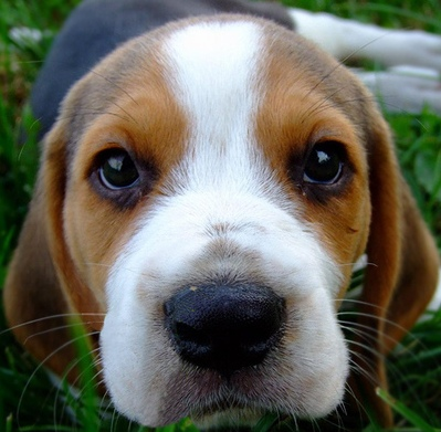 Beagle Puppies | Beagle Puppy Pictures | Pocket Beagles