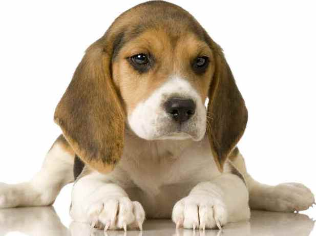 beagles for sale. eagle puppy
