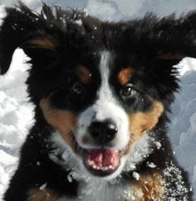 Bernese Mountain Dog Alaska Rescue