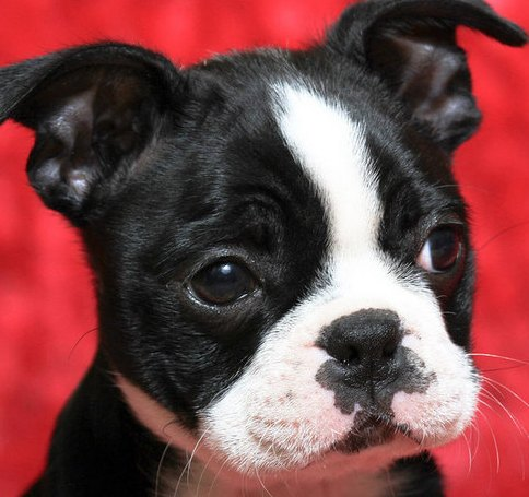 black boston terrier puppy