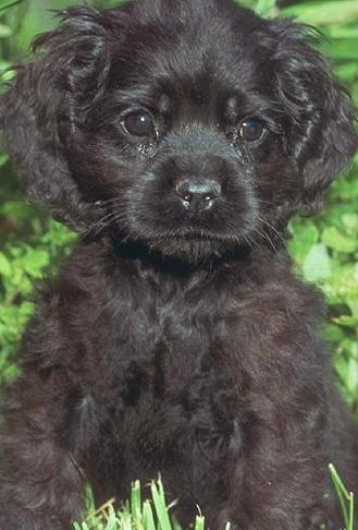 black english cocker spaniel puppy