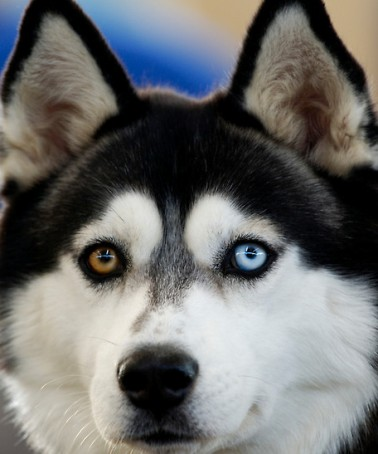 Black Siberian Husky | Black Alaskan Dog Pictures