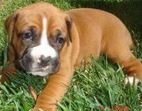 boxer puppy mix