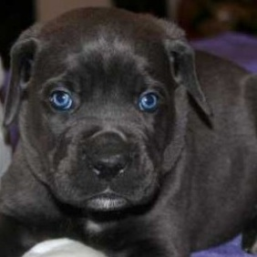 Black Cane Corso With Blue Black Cane Corso With Blue Eyes