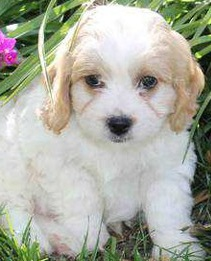 cavachon puppy picture