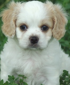 cute cavachon puppy