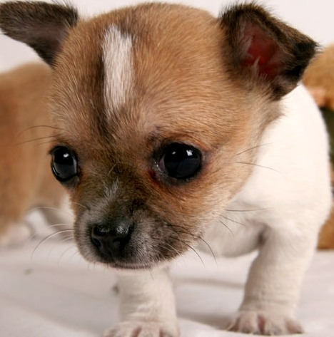 Chihuahua Puppies on Chihuahua Puppy   Chihuahua Puppies For Sale