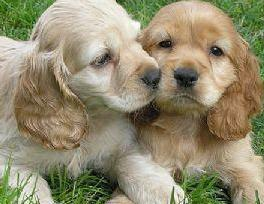 Contact Cocker Spaniel breeders in Ireland for information or browse pet websites to find puppies for sale.