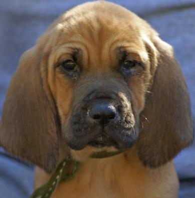 cute bloodhound puppy
