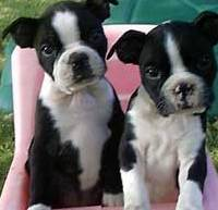 cute boston terrier puppies