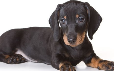 Dachshund Puppy | Dachshund Puppies for Sale