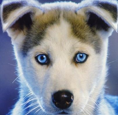 husky husky husky puppy husky breeders husky puppies siberian husky