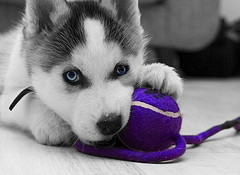 Cute Husky Puppy For Sale