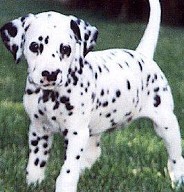 Dalmatian Puppy Dalmatian Puppies For Sale