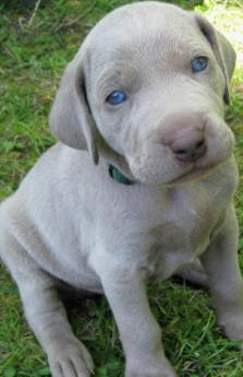 female weimaraner puppy
