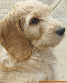 goldendoodle puppies photo