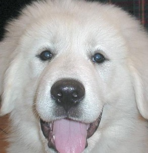 pyrenees dog