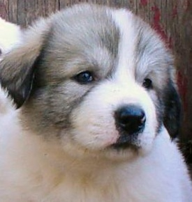 pyrenees puppy