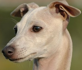 male greyhound