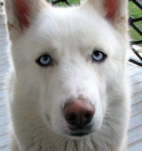 White Husky German Shepherd Mix