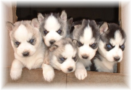 Siberian Husky Puppies on Siberian Husky Puppy   Siberian Husky Puppies For Sale   Cute Huskies