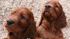setter puppies