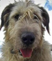 big irish wolfhound