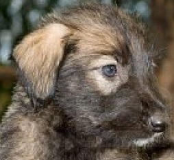 cute irish wolfhound puppy