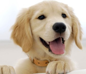 male golden retriever puppy
