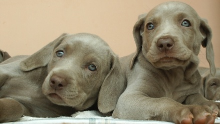 male weimaraner puppies